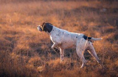 Cani da caccia: quali sono le caratteristiche, le razze migliori e le categorie