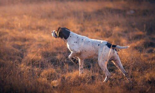 Photo of Cani da caccia: quali sono le caratteristiche, le razze migliori e le categorie