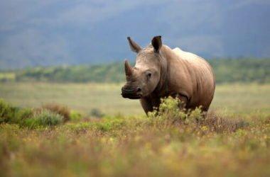 Droni e internet per salvare i rinoceronti in Africa