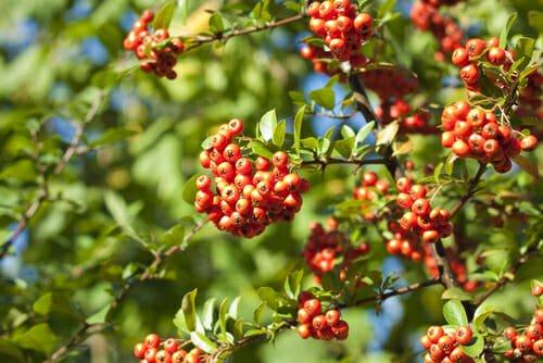 Sorbus aucuparia sorbo selvatico o degli uccellatori