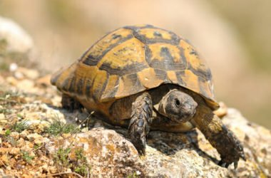 Quello che c'è da sapere sulle tartarughe di terra: le specie e le buone norme per allevarle