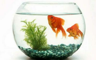 Pesce rosso: scopriamo tutto sul pesce più classico!