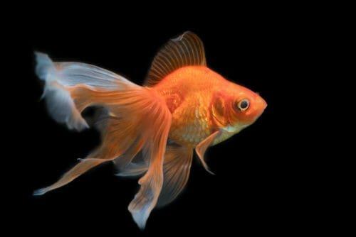 Pesce rosso tutto quello che c 39 da sapere sul pesce pi for Immagini pesciolini