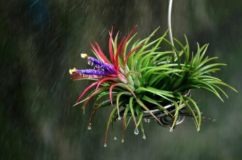 Photo of Tutto sulla Tillandsia, la pianta dell'aria: un vero e proprio portento della Natura!