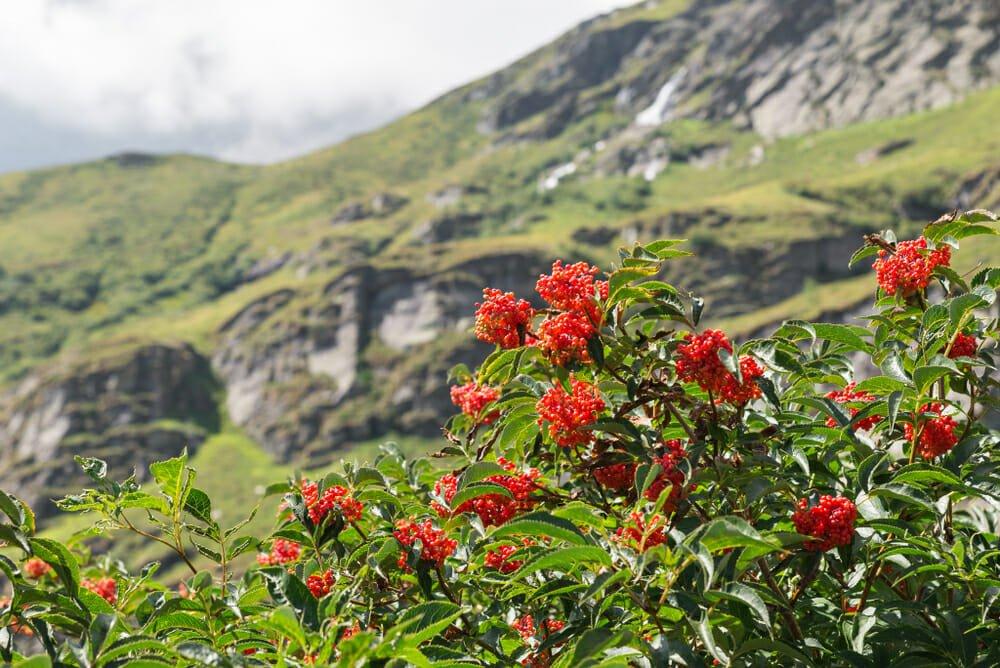 Photo of Sorbo: un frutto dimenticato ricco di sapore ed effetti benefici, ma anche un albero ornamentale