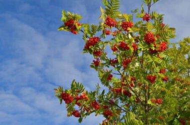 Sorbo: un frutto dimenticato ricco di sapore ed effetti benefici, ma anche un albero ornamentale
