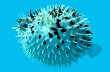 Pesce palla, si gonfia per paura, è velenoso ma ricercatissimo nella cucina giapponese