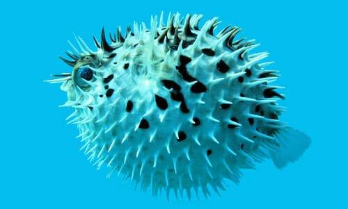 Photo of Pesce palla, si gonfia per paura, è velenoso ma ricercatissimo nella cucina giapponese