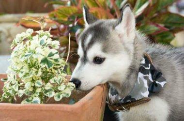 Quali sono le piante velenose per i cani e come comportarsi in caso di intossicazione
