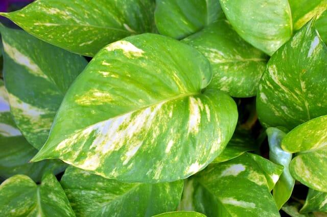 pothos foglie