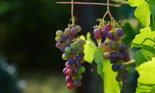 mosto d'uva
