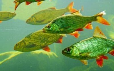 Pesci d'acqua dolce: tutto quello che c'è da sapere
