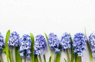 Il giacinto: un bel fiore profumato di facile cura
