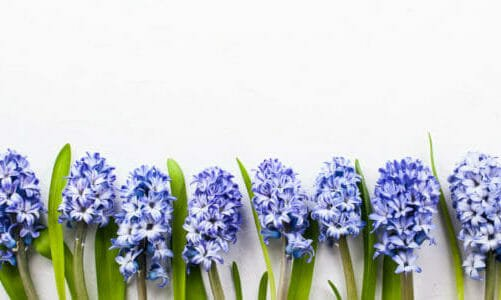 Photo of Il giacinto: un bel fiore profumato di facile cura
