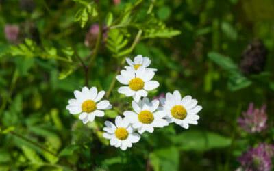 Scopriamo il piretro, una pianta che è anche un insetticida naturale perfetto per l'orto biologico