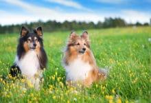 Photo of Pastore delle Shetland: caratteristiche e temperamento di questo cane da pastore di piccola taglia