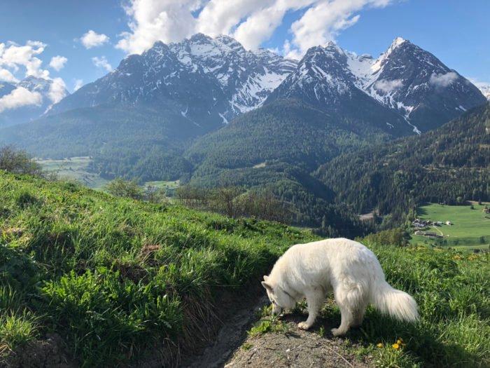 pastore svizzero