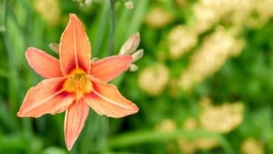 Photo of Alla scoperta del giglio, uno dei fiori più amati e coltivati