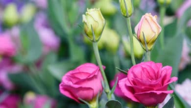 Photo of Lisianthus o Eustoma: i consigli per una fioritura perfetta