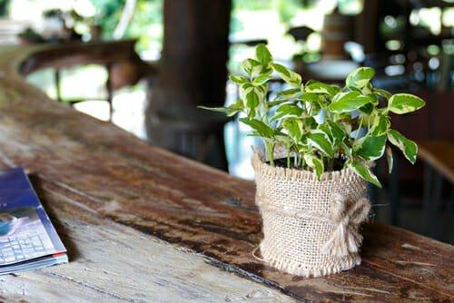 Photo of Pothos, una pianta verdissima facile da curare che tutti dovrebbero conoscere!