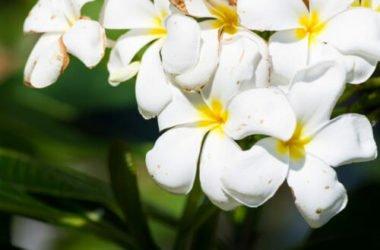 Il fiore simbolo di Palermo: scopriamo la Pomelia, nota anche come plumeria o frangipane