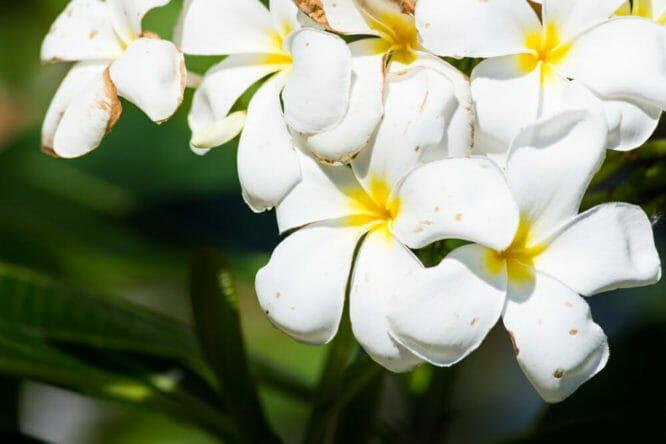 Piante Da Appartamento La Plumeria.Pomelia Caratteristiche E Coltivazione Della Plumeria O Frangipane