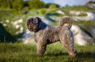 Scopriamo il Bovaro delle Fiandre: un cane di taglia media dal fiuto eccezionale e adatto alla vita in famiglia