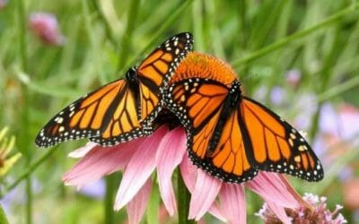 La farfalla monarca: uno spettacolo della Natura da vedere assolutamente
