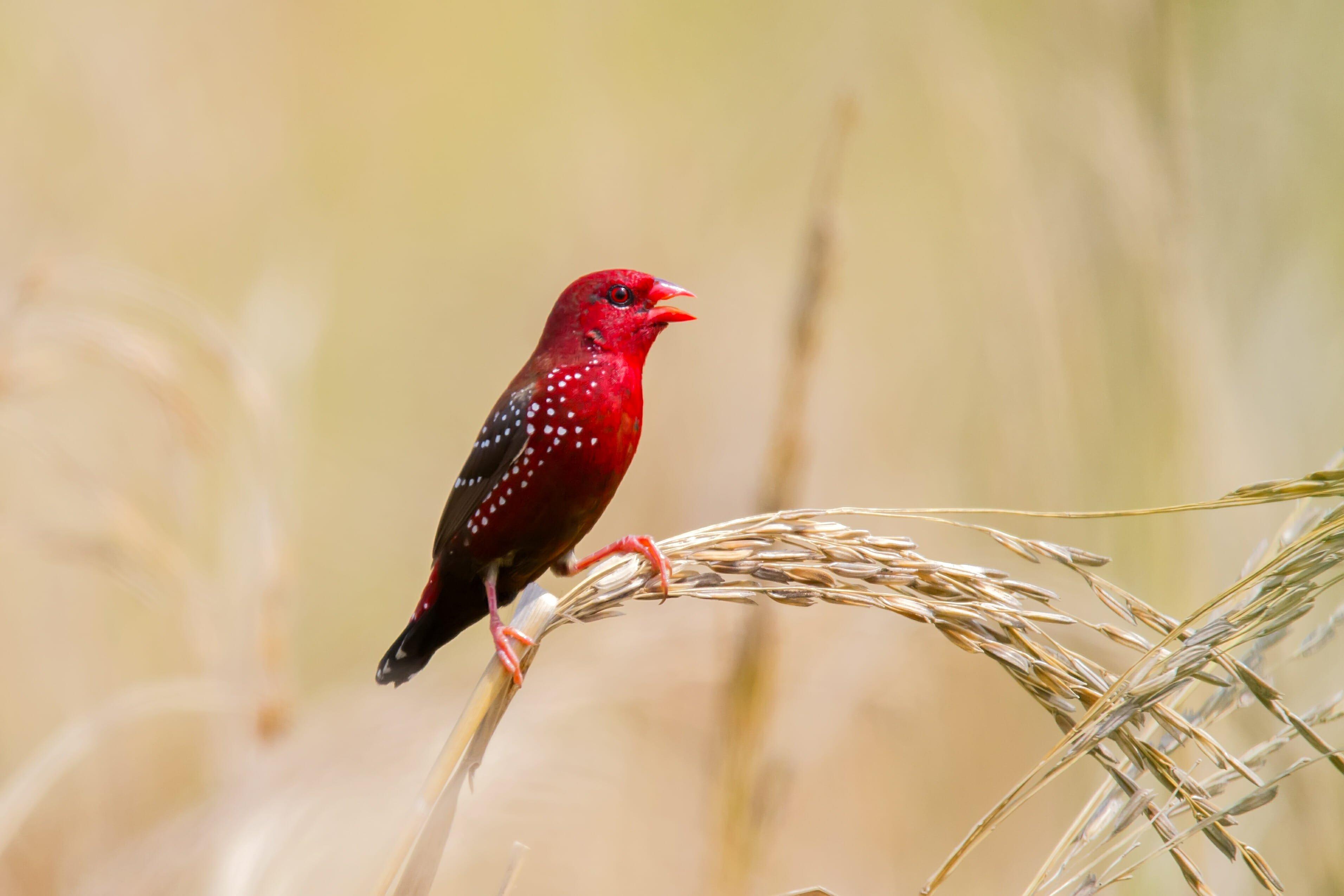 Photo of Bengalini: tutto su questi coloratissimi uccelli di compagnia