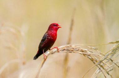 Diamantini: caratteristiche e cure necessarie per gli uccelli canterini chiamati anche diamanti mandarini