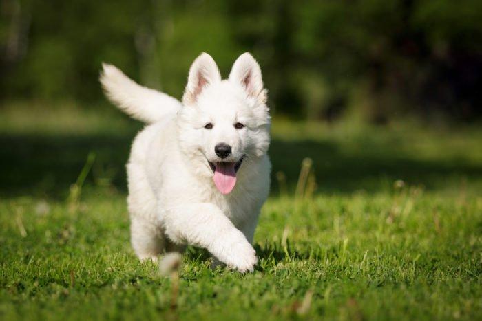 pastore svizzero cucciolo
