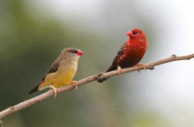 Bengalini: tutto su questi coloratissimi uccelli di compagnia