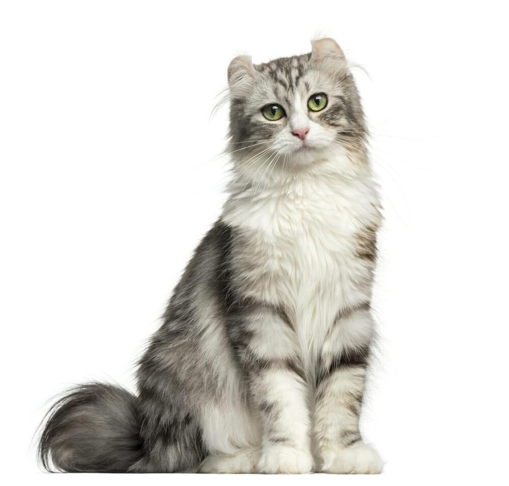 Photo of Alla scoperta dell'American Curl, il gatto conosciuto per le caratteristiche orecchie ripiegate all'indietro