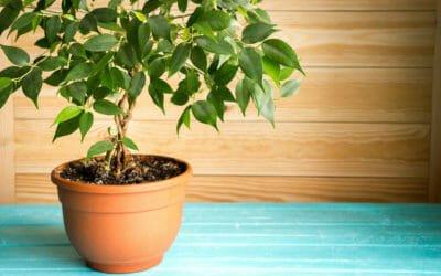 Ficus benjamin o bengiamino i segreti di questa for Ficus benjamin perde foglie