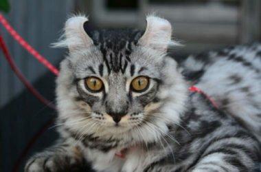 Alla scoperta dell'American Curl, il gatto conosciuto per le caratteristiche orecchie ripiegate all'indietro