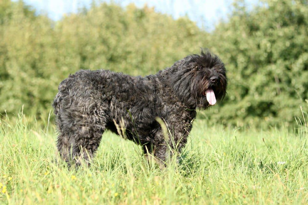 Photo of Scopriamo il Bovaro delle Fiandre: un cane di taglia media dal fiuto eccezionale e adatto alla vita in famiglia