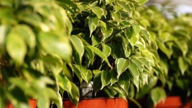 Photo of Ficus benjamin: cura e coltivazione di questa pianta tropicale ideale per gli interni
