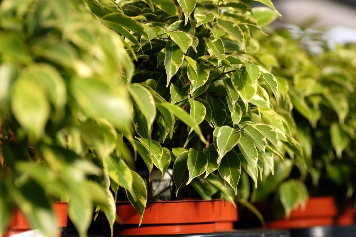 Potare Il Ficus Elastica ficus benjamin o bengiamino: i segreti di questa bellissima