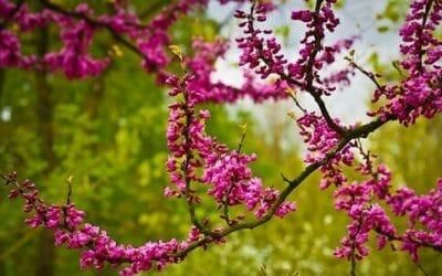 Quello che c'è da sapere sull'Albero di Giuda o Albero della Giudea, un leggendario arbusto ornamentale