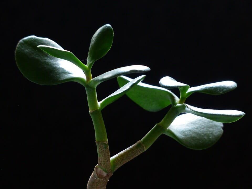 Photo of Crassula: scopriamo quello che c'è da sapere su questa pianta grassa