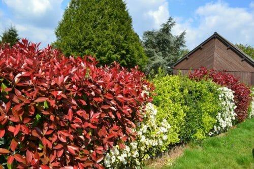 Photinia una pianta da siepe da scoprire nelle sue diverse variet tuttogreen - Haie croissance rapide feuillage persistant ...