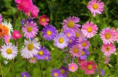 L'aster e le sue fantastiche fioriture autunnali: ecco come prendercene cura