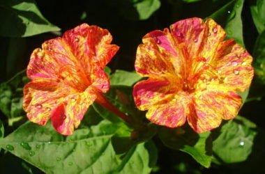 Tutto sulla bella di notte, il fiore noto per aprirsi al calare del sole