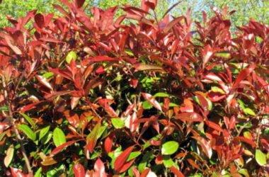 Photinia: scopriamo di più su questa pianta da siepe dai colori speciali