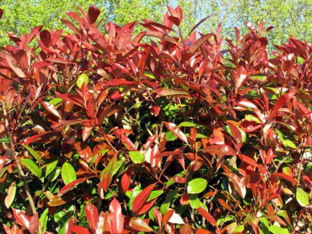 Photo of Photinia: scopriamo di più su questa pianta da siepe dai colori speciali