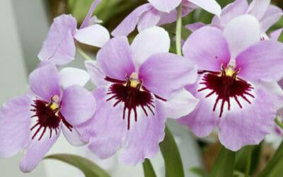 Orchidea Miltonia: grandi fiori colorati da coltivare con attenzione