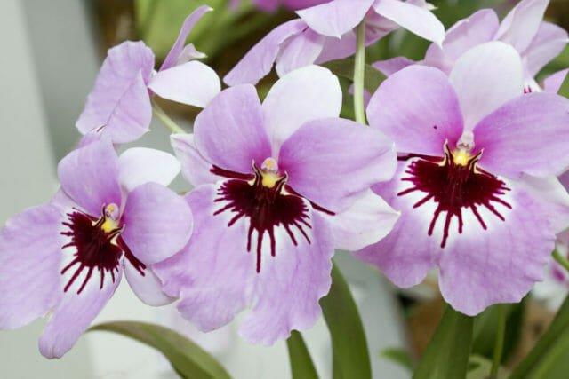 Photo of Orchidea Miltonia: grandi fiori colorati da coltivare con attenzione