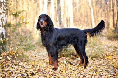 Setter Gordon: un cane agile, docile e obbediente come pochi