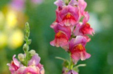 Bocca di leone: una pianta nota per i suoi fiori colorati e vistosi che possiamo coltivare anche noi