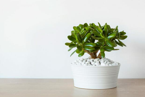 Crassula: scopriamo quello che c'è da sapere su questa pianta grassa